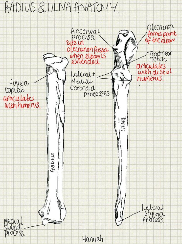 Anatomy of ulna and radius