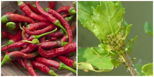 Ardeiul iute, un insecticid natural impotriva afidelor. 3 retete simple pentru a scapa de paduchii plantelor