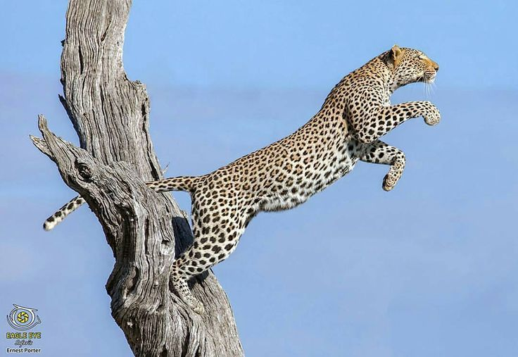 Check out this incredible shot of a leopard branching out at Kruger National Park in South Africa by #wildographer Ernest Porter @eagle_eye_safaris. Visit their website for prints and other photographic services including small group safaris and...