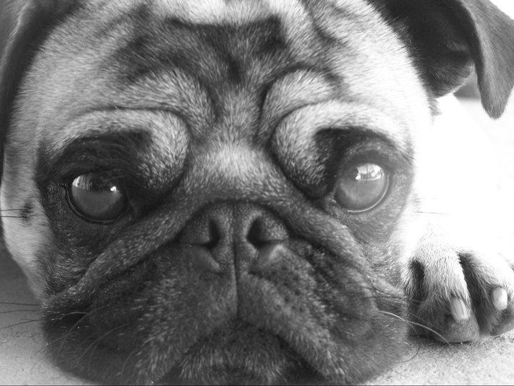 My pug, Zeke