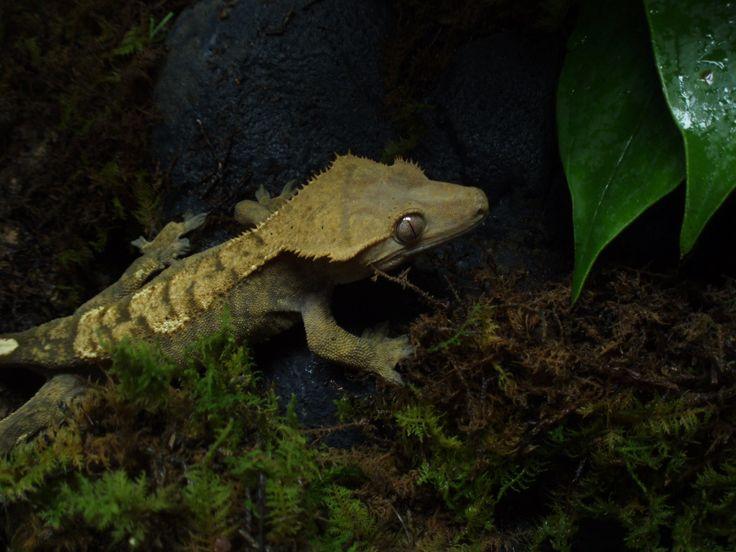 How to Build a Crested Gecko Vivarium