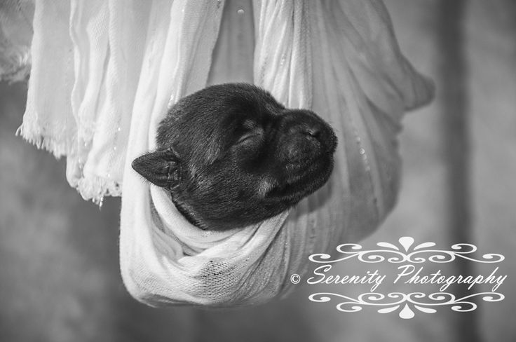 Adorable pet portrait photography by Serenity Photography in the North Battleford and Saskatoon area. Swaddled Mini Schnauzer puppy.