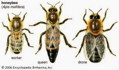 En una colmena hay tres tipos de abejas: abeja reina, abeja obrera y zángano