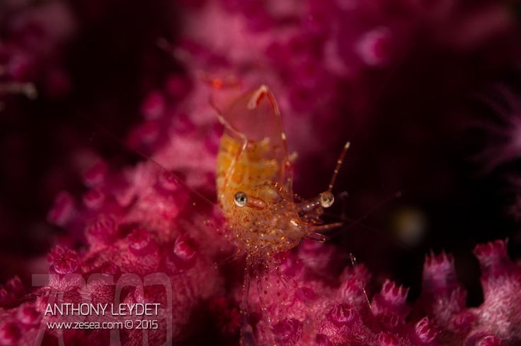 Les gorgones embellissent les tombant, au grand plaisir des plongeurs. En les observant de près, vous y découvrirez également une faune étonnante vivant au milieu des polypes !