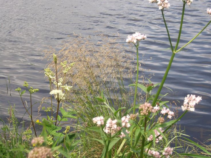 Wild angelica out on the riverbank