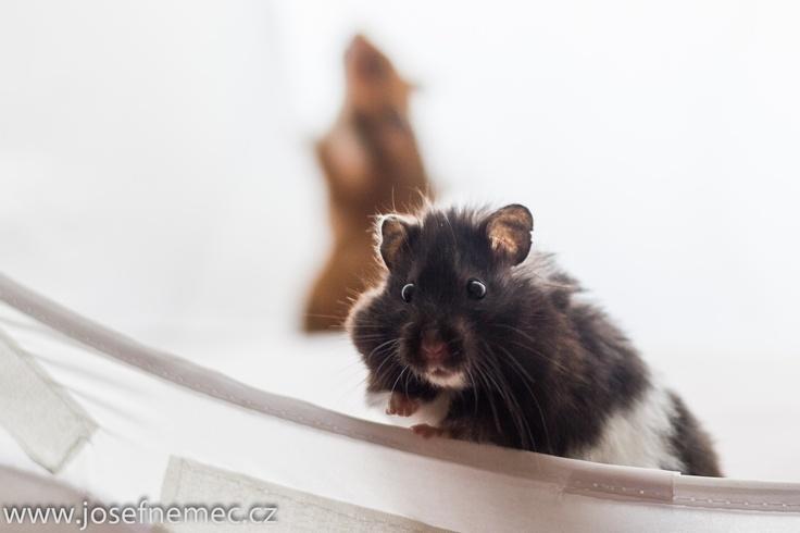 Dva křeččí nalezenci. Někdo je vyhodil v zimě k popelnici. Lidi jsou kreténi.  #hamster Hledá se pro ně nový domov.
