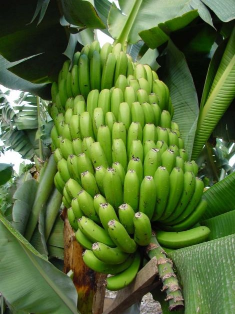 Platano Canario / Canarian bananas