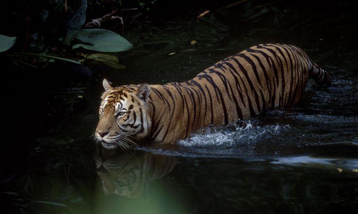 Tigers - World Wildlife Foundation