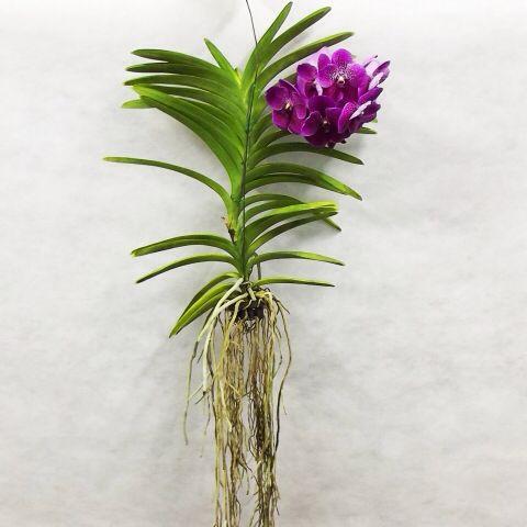 Como plantar sua Vanda: Na minha opinião, é a orquídea mais fácil de se plantar. A Vanda dispensa substrato, ela gosta de suas raízes limpas e soltas. Você pode deixá-la pendurada, ou amarrá-la num tutor vivo (árvores em geral) ou em pedaços de madeira. Se for plantar em vaso ou cachepô de madeira, ele deve servir apenas de base e não deve ter substrato. Nunca enterre suas raízes! Como trata-se de uma orquídea pantanosa, mantenha suas raízes sempre úmidas, mas nunca encharcadas.