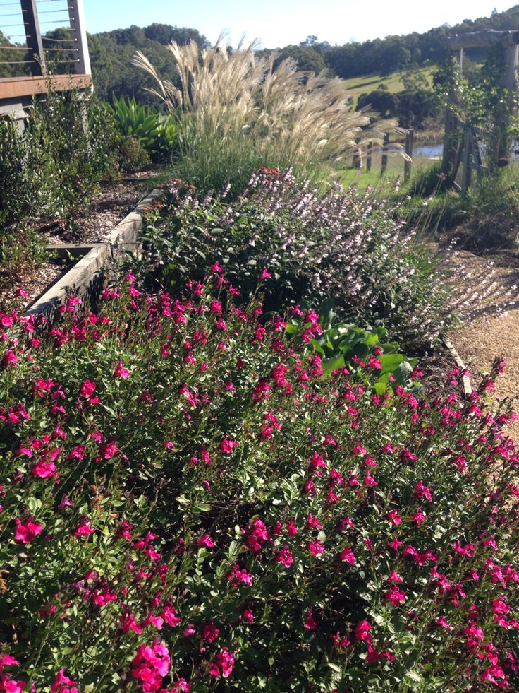 Salvias: Raspberry Royal and Waverley, Miscanthus at the back - in our North garden
