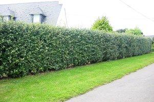 Elaeagnus ebbingei de groenblijvende olijfwilg heeft een decoratief blinkend blad, onderaan zilverwit behaard. Heeft aanvankelijk bruine en later grijze twijgen. Heeft zoetgeurende bloempjes in de vroege lente. Snelgroeiende, goed winterharde struik die toch niet te hoog wordt. Goed voor vakbeplanting in de grotere tuin of als haag. Groeit in iedere tuingrond, ook op nattere plaatsen en verdraagt ook de zoutige invloeden van de kust zeer goed.