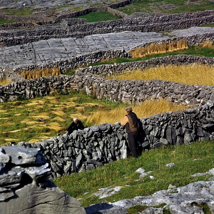 Fields of rye on Ireland's Aran islands.