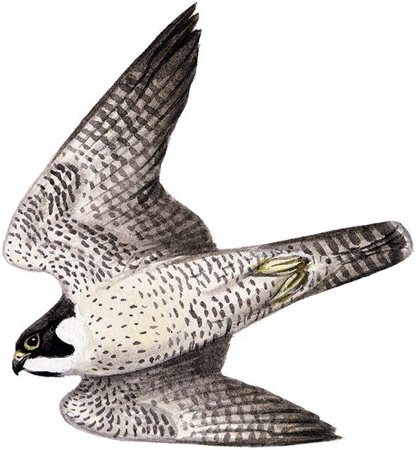 ハヤブサ|日本の鳥百科|サントリーの愛鳥活動