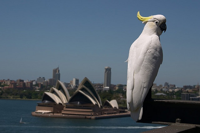 """Cockatoo and Opera House: He was just sitting there, enjoying the view. He didn't seem to mind me getting close."" by Flickr user rhettly"