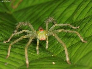 The brains of tiny spiders are so large that they fill their body cavities and overflow into their legs.