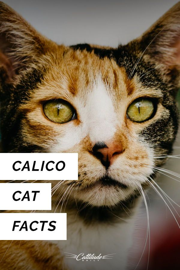 Love Calico Cats Find Out More About Them Here Cattitudedaily Calico Calicocat Catfacts Calico Cat Facts Cat Facts Calico Cat