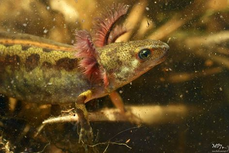 23 Best Images About Triturus Marmoratus On Pinterest