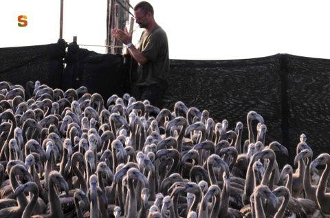 Sardegna DigitalLibrary - Immagini - Stagno di Santa Gilla, inanellamento dei pulli di fenicottero: recinto coi pulli