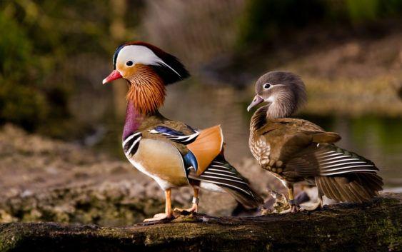 Kaczki mandarynki (samiec i samica)