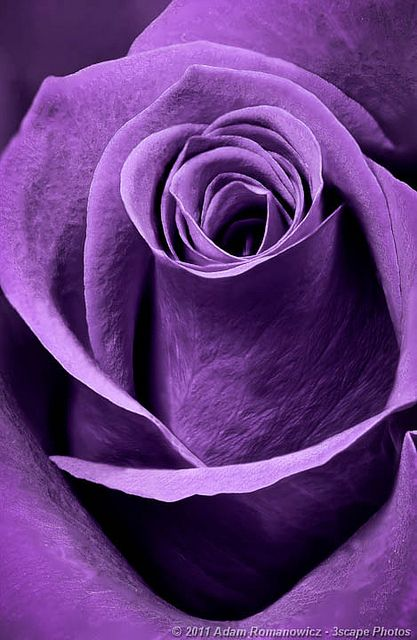 Purple Rose by 3scapePhotos