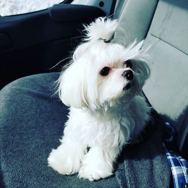 Yougottabekiddingme Luna Micromaltese Maltese Accessories