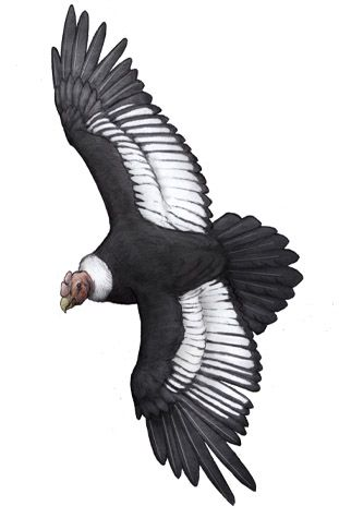 The andean Condor, Vultur gryphus (1758) Phylum : ChordataClass : AvesOrder : CathartiformesFamily : CathartidaeGenus : VulturSpecies : V. gryphus Near threatened 3,2 m wingspan and 15 kg (size) Western South America (map) The condor soars with its wings held horizontally and its primary feathers bent upwards at the tips. The lack of a large sternum to anchor its correspondingly large flight muscles physiologically identifies it as primarily being a soarer. It flaps its wings on rising from…