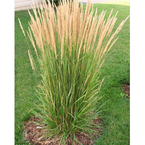 Blooming now deer resistant karl foerster feather reed for Fast growing decorative grass