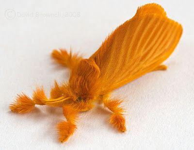 Acraga coa - Moth: Coa Moth, Jewelcaterpillar, Butterflies, Orange Moth, Jewels, Animal