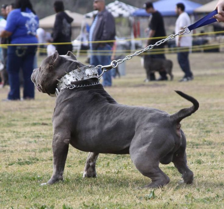 Our goal is to produce the best bully blue pitbulls for   sale also know as the American Bully. Description from xtremechampionbully.com. I searched for this on bing.com/images