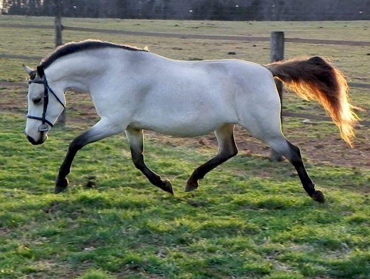 Серебристо-буланая лошадь