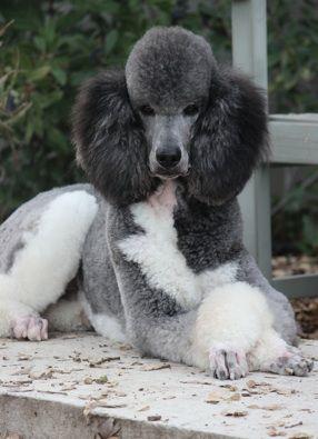 """""""I'm a big deal!"""" #dogs #pets #Poodles Facebook.com/sodoggonefunny"""