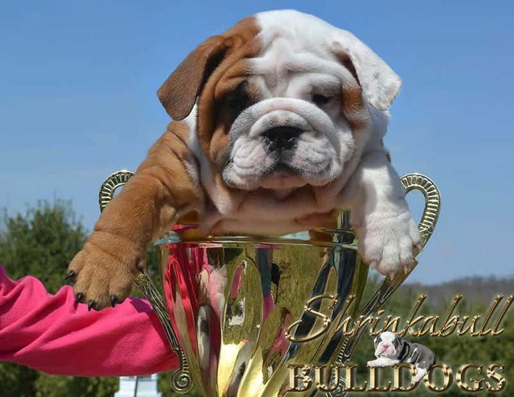 17 Best ideas about Miniature English Bulldog on Pinterest | Baby bulldogs, Bull dog and Miniature bulldog for sale