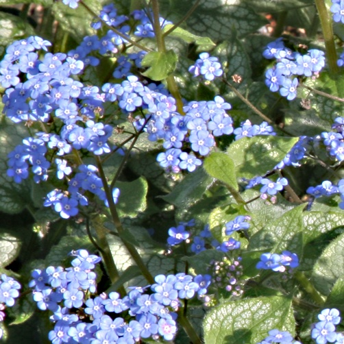 Perennial plant with small blue flowers credainatcon 114 best blue purple pink silver plants images on pinterest mightylinksfo