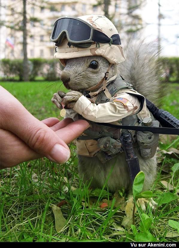 Ecureuil militaire - military Squirrel