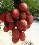 Lychee (litchi) nutrition facts and health benefits
