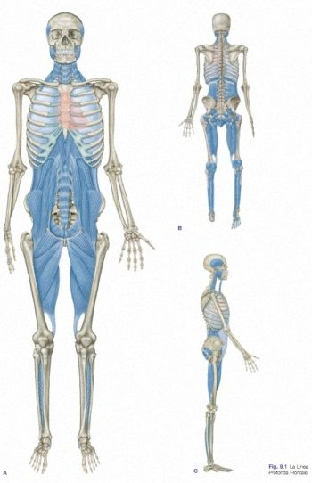 72 best Fascia images on Pinterest | Physical therapy, Massage ...
