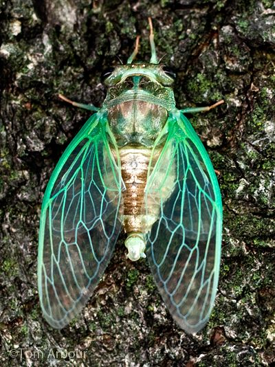 A cicada is an insect of the order Hemiptera, suborder Auchenorrhyncha, in the superfamily Cicadoidea, with large eyes wide apart on the head and usually transparent, well-veined wings.