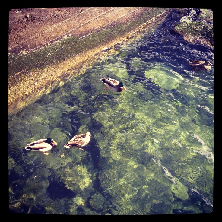 Ducks in Montreux Riviera