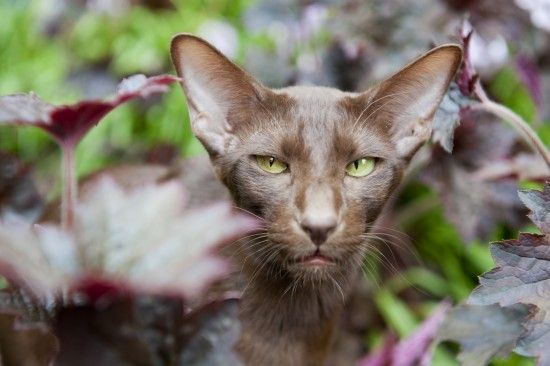 Five pedigree cats with Siamese origins | Pets4Homes