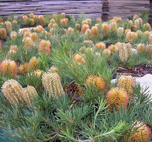 Banksia spinulosa 'Birthday Candles' to rear garden feature beds at Vincent St and Hobson St
