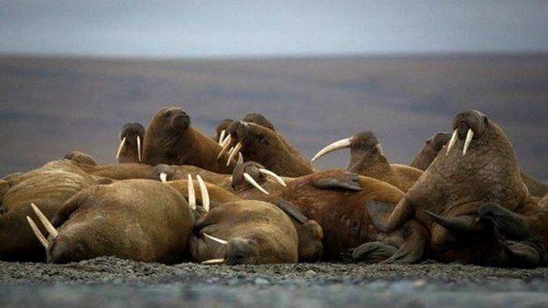 Лаптевский морж (Odobenus rosmarus laptevi) Категория: 3 - редкий уязвимый подвид. В Красной книге МСОП отмечен как вероятно невалидный таксон, синонимичный тихоокеанскому подвиду.