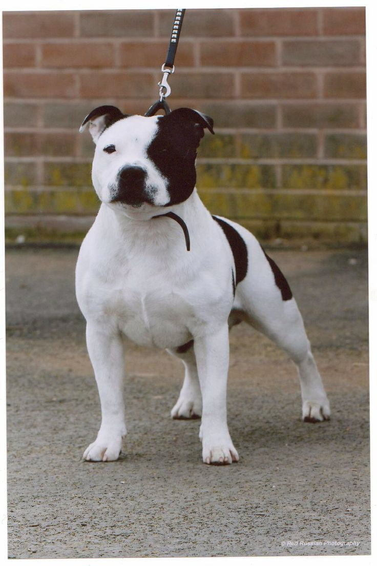 black american staffordshire terrier best 25 english staffordshire bull terrier ideas on 472