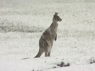 I haven't seen a roo in the snow personally but it's an image that is very strange to me.