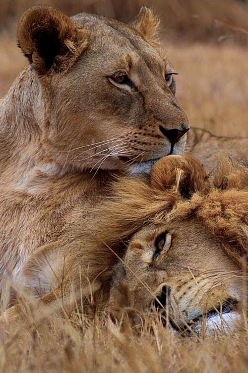 Lions ~ tender moment