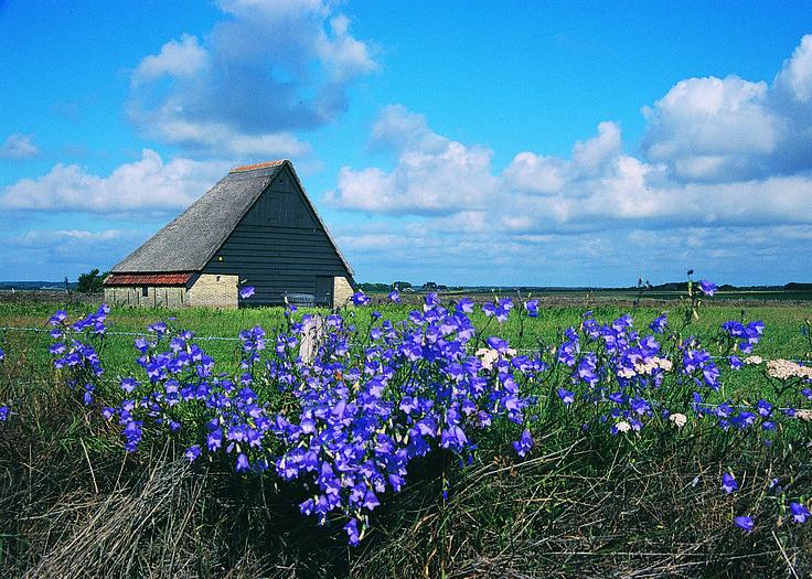 In de zomer bloeien de tuunwalletjes paars van de blauwe klokjes
