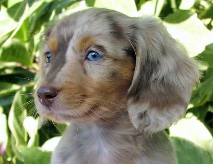 Teacup Weiner   miniature dachshund long hair I would take one of these