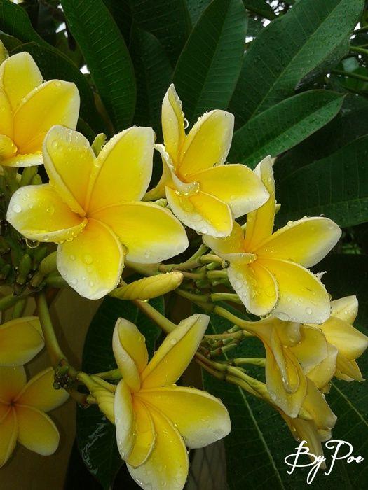 Kamboja (Plumeria acuminata) Nama lain : - kamoja, samoja (Sunda)  - kamboja, samboja, semboja (Jawa) - pandam (Minangkabau) - campaka, campaka bukul, cempaka sabakal, cempaka ralja, nojha (Madura) - bunga jepun (Bali) - tintis, karasusi, koloyocucu, kolosusu, (sulawesi utara) - bunga lominate (gorontolo) - bunga jenem (sulawesi selatan)