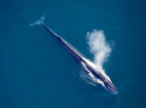 The fin whale, the second largest living mammal, has been severely impacted worldwide by commercial whaling. Nearly 750,000 animals were killed in areas of the Southern Hemisphere alone between 1904 and 1979, and they are rarely seen there today. Their current status is unknown in most areas outside of the North Atlantic.