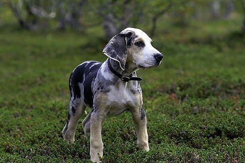 Dunker (Norwegian Hound)  Puppy