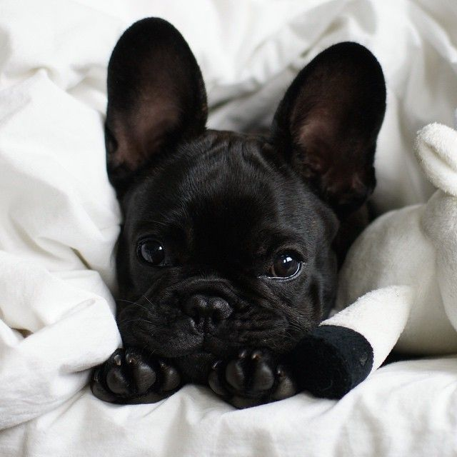 Big Ears | Puppy | Frenchie | French Bulldog | Cute Pets |